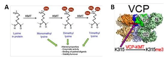 Characterization of novel human protein methyltransferases