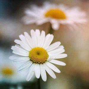 Bildet kan inneholde: oxeye tusenfryd, tusenfryd, blomst, mayweed, petal.