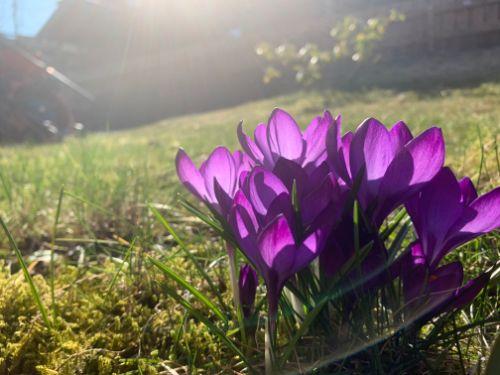 Bildet kan inneholde: blomst, blomstrende plante, anlegg, tommie krokus, petal.